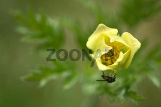 Gelbe Alpen-Kuechenschelle, Pustilla apiifolia,  Pasqueflower