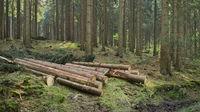 Deister - Range of hills, spruce forest, Germany