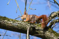 Young Red Squirrel 5