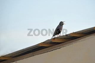 Common starling bird