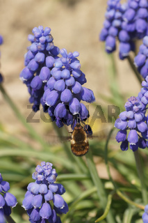 Muscari botryoides, Traubenhyazinthe, Grape Hyacinth, mit Hummelschweber, with bee fly