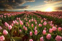 sunset over pink tulip field