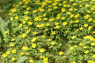 Anemone ranuculoides, Gelbes Windroeschen, Yellow Wood Anemone