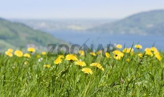 Blumenwiese vor See meadow with lake