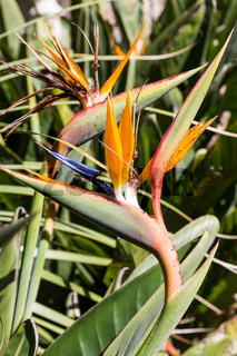 Strelitzia Or Bird Of Paradise Flower in portugal