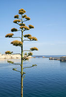 Entrance to the Grand Harbor with agave flower on the foreground. Valletta. Malta