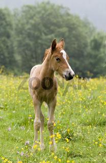 Fohlen von Araber-Haflinger Stute und Appaluser Hengst, foal Arab-Haflinger, Appaluser stallion