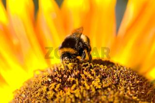 Hummel auf Sonnenblume.