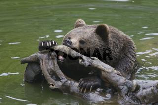 Braunbaer, Ursos arctos, Brown bear, Nationalpark Bayerischer Wald, bavarian forest national park
