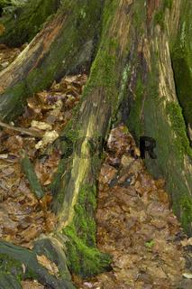 Wurzel einer abgestorbenen Bergfichte im Urwaldgebiet, Dead roots, Spruce, Primeval forest, Mittelsteighuette