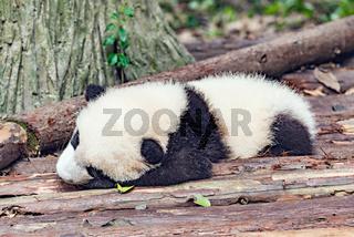 Baby of Giant Panda.