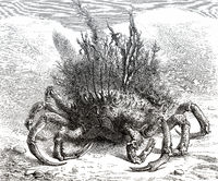 Maja squinado, the European spider crab
