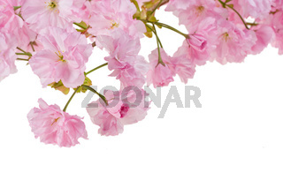 pink cherry tree blossoms on white background
