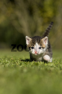 Katze, Kaetzchen gehend auf Wiese, Cat, kitten walking on a meadow