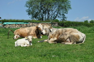 glueckliche Kuehe,lucky cows,