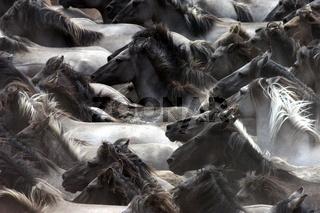 Wildpferde in Dülmen
