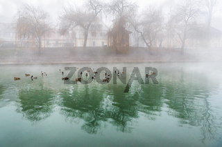 Flock of ducks on a foggy river
