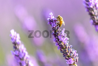 honey bee on a lavender flower, Valensole plateau, Provence