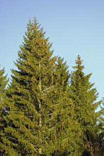 Fichten, Picea, mit Fichtenzapfen vor blauem Himmel