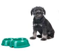 Small hungry mittelschnauzer puppy near empty  dog bow