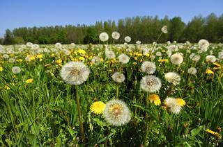 Frühlingswiese mit Löwenzahn und Pusteblumen