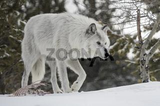 nach dem Fressen... Timberwolf *Canis lupus lycaon*