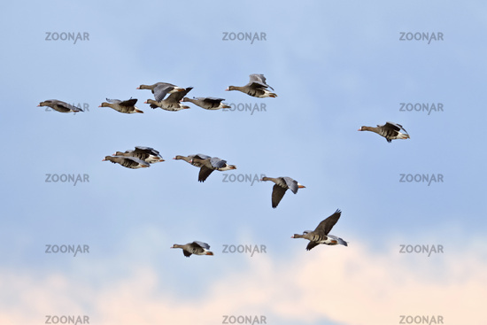 White-fronted Geese * Anser albifrons *, flock in flight