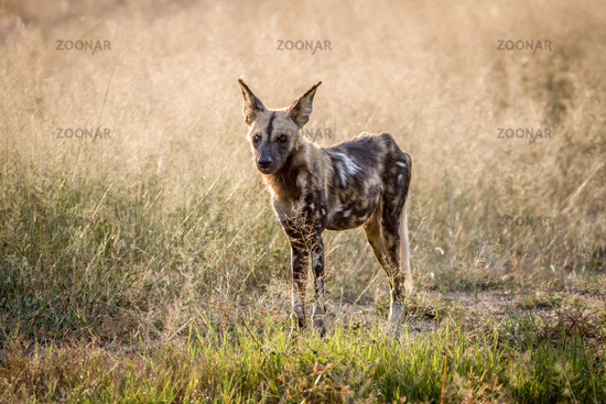 African wild dog standing in the grass.