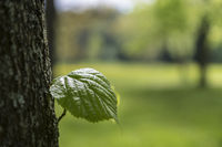 A single leaf grows from the trunk of a beech.