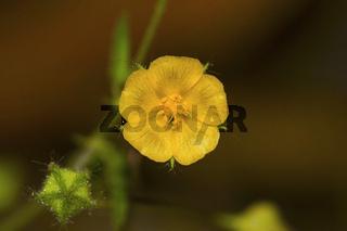 Heart-Leaf sida, Sida cordata, Malvaceae, Bangalore