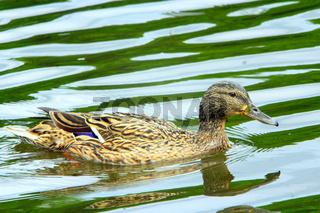 duck Gadwall on the water