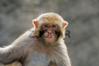 Rhesus macaque portrait