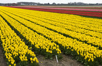 Field of yellow tulips of the species Yellow Purissima for the production of tulip bulbs