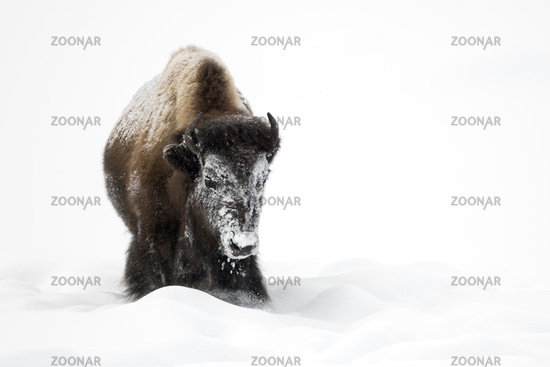 snow and ice crusted... American Bison *Bison bison*