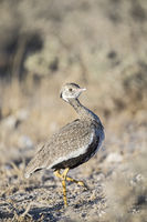 White-quilled bustard (female)