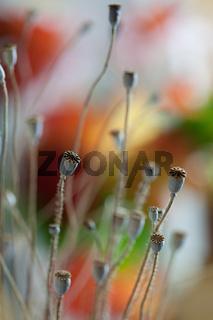 Herbstbild mit getrockneten Mohnkapseln