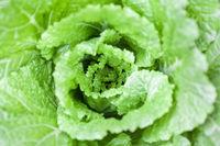 cabbage closeup background