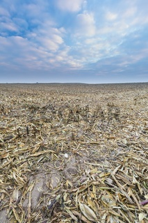 Stubble field after corn. Agricultural landscape in late autumn or winter. Sad landscape under evening sky with clouds.