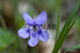 Wald Veilchen (Viola reichenbachiana Jord) Nationalpark Kalkalpen, Oberösterreich, Österreich