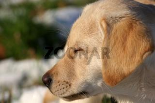 Labradorwelpe geniesst den Sonnenschein