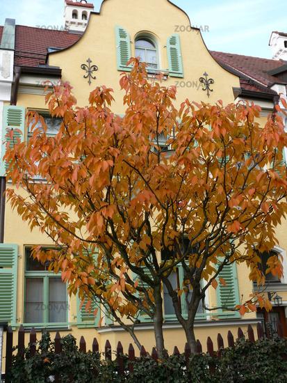Photo Prunus Serrulata Kanzan Blutenkirsche Japanese Cherry Image