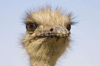 Afrikanischer Strauss (Struthio camelus), Namibia, Afrika, Ostrich, Africa, Portrait