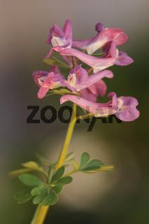 Gefingerter Lerchensporn (Corydalis solida)