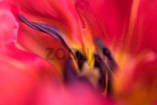 Details einer Tulpenbluete (4)