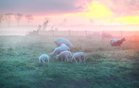 sheep and lambs graze on pasture at sunrise