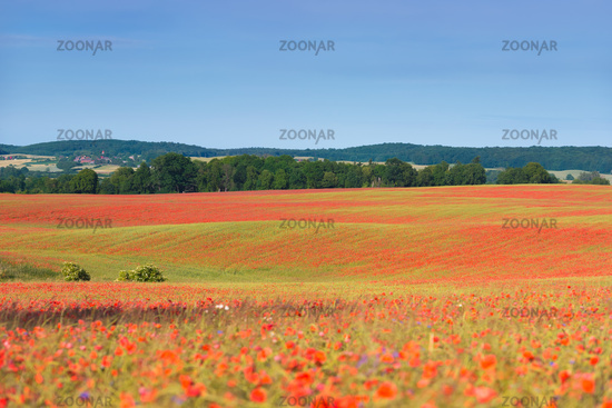 Cornfields with blooming poppies in early summer