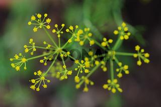 Dill Blüten