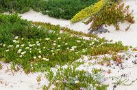 White Carpobrotus  flowers on sandy hill (Carpobrotus).
