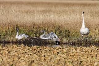 Trumpeter Swans Teton NP