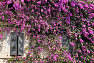 Sirmione, Haus in der Altstadt mit Bougainvillea glabra, Drillingsblume, Gardasee, Lombardei, Italien - Sirmione, house in the old part of town with bougainvillea glabra, paper flower, also known as lesser bougaivillea, Lake Garda, Lombardy, Italy